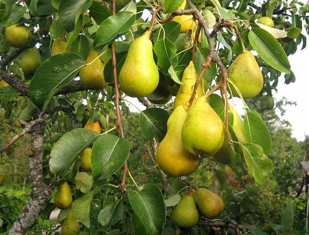 Pirnipuud